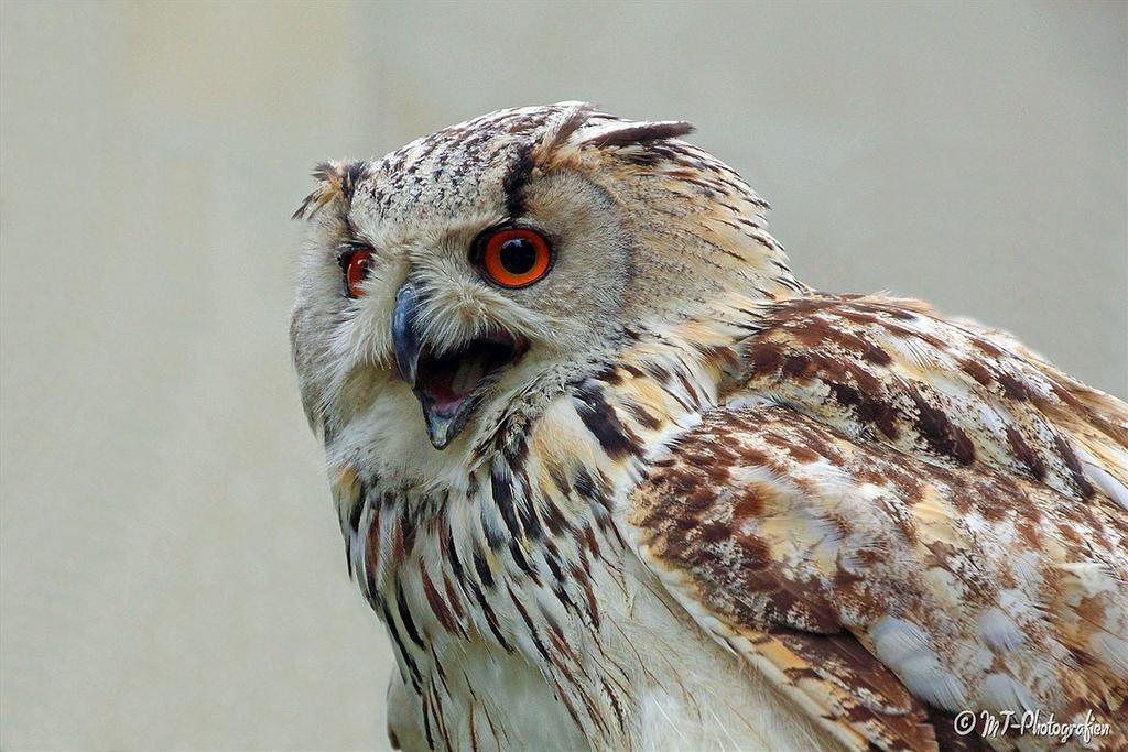Siberian eagle owl 2 by MT-Photografien