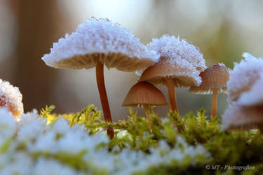 Frosty kristal mushrooms in the morning sun 3 by MT-Photografien