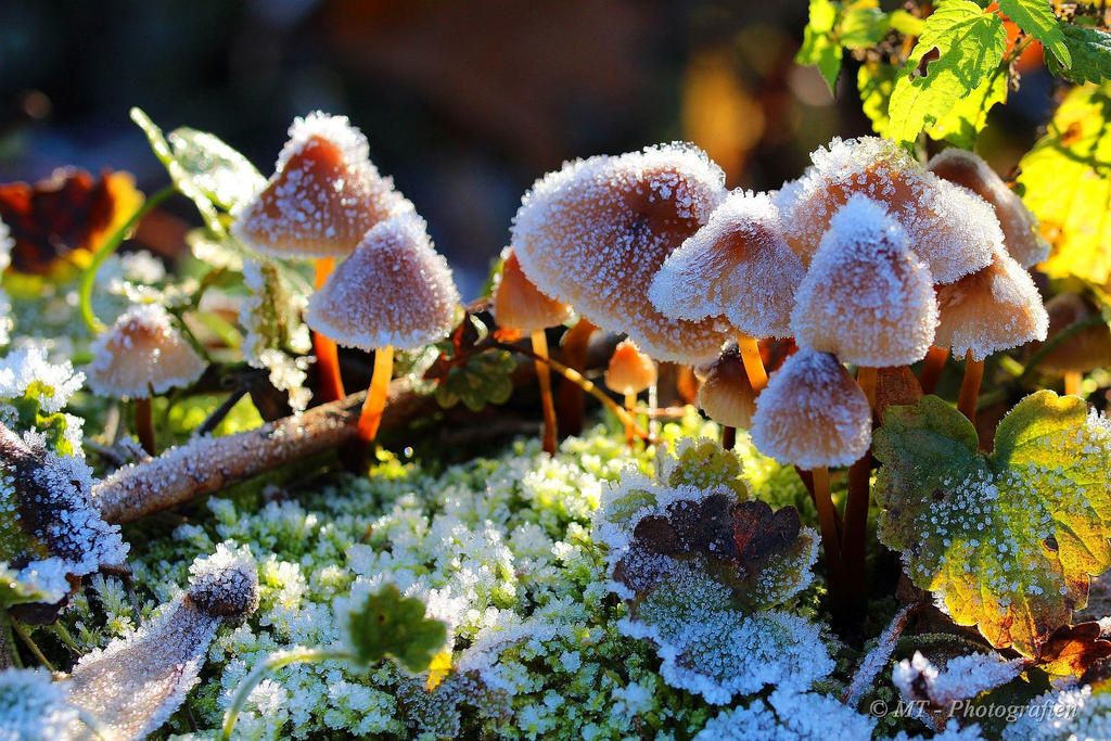 Frosty mushroom family in the morning sun by MT-Photografien