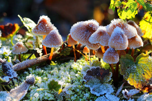 Frosty mushroom family in the morning sun