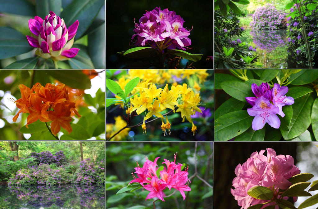 Colorful world of rhododendrons by MT-Photografien