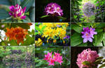 Colorful world of rhododendrons