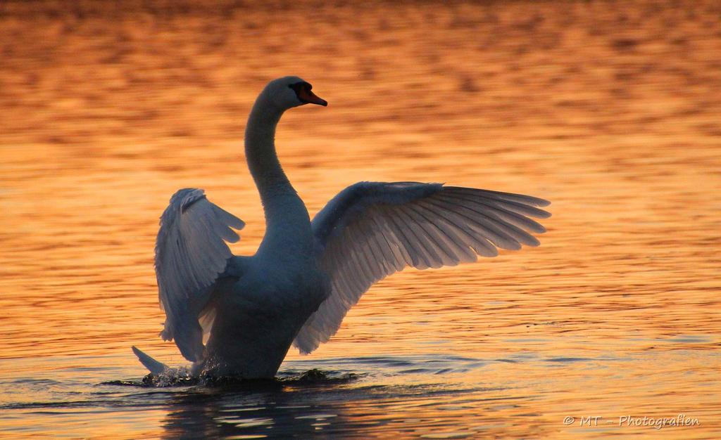 swan romance 8 by MT-Photografien