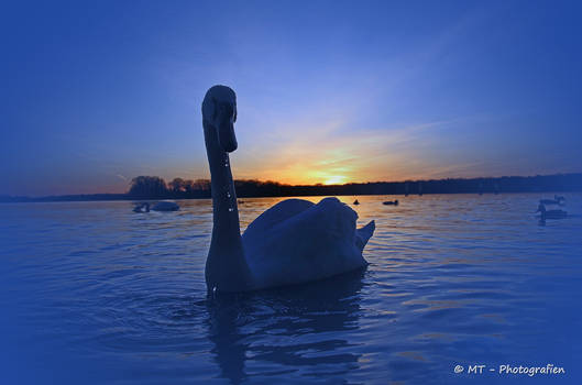 swan romance 9