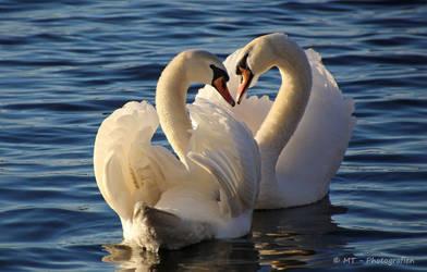 Swan love romance
