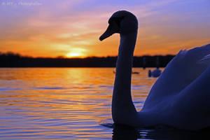 swan romance 14 by MT-Photografien