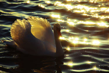 swan romance 15 by MT-Photografien