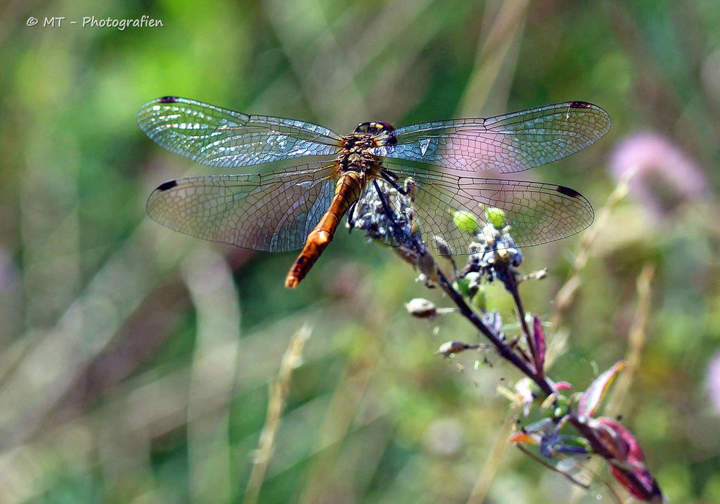 Colorful dragonfly by MT-Photografien