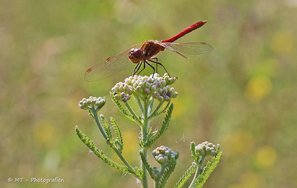 Dragonfly explored by MT-Photografien