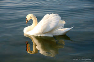 the swanking of the swan lake by MT-Photografien