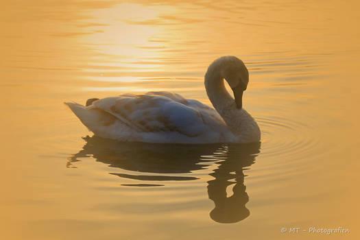 swan romance 17