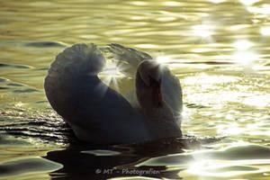 swan romance 18 by MT-Photografien