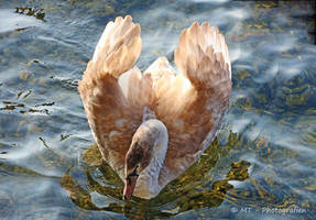 young swan makes beautiful pose by MT-Photografien