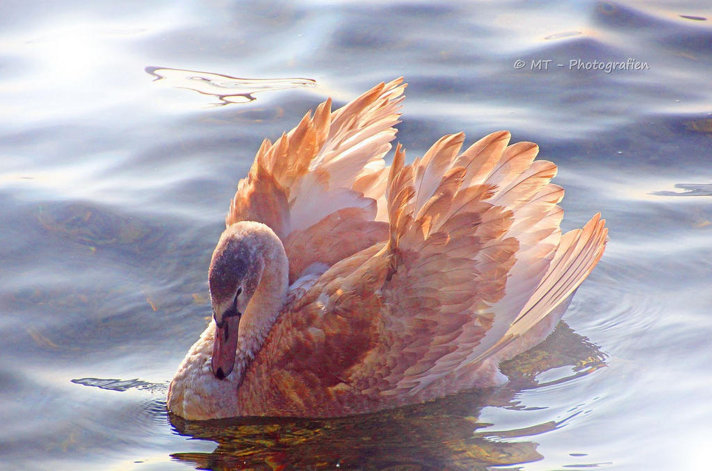 young swan - queen in beautiful light by MT-Photografien