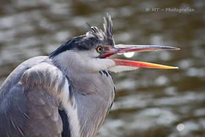 gray heron portrait by MT-Photografien