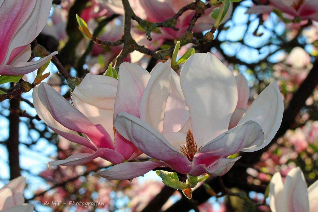 magnolia blossom by MT-Photografien