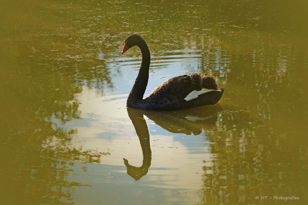 black swan in bright light by MT-Photografien