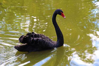 black Beauty by MT-Photografien