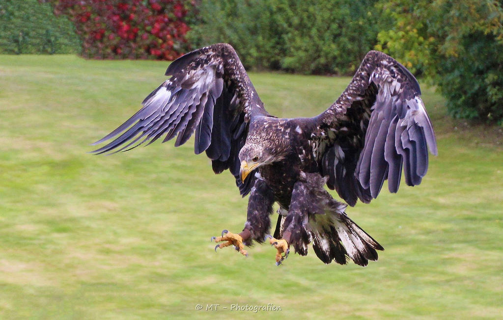 Sea Eagle starts to land by MT-Photografien