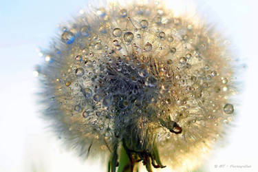 colorful drops of water on the dandelion by MT-Photografien
