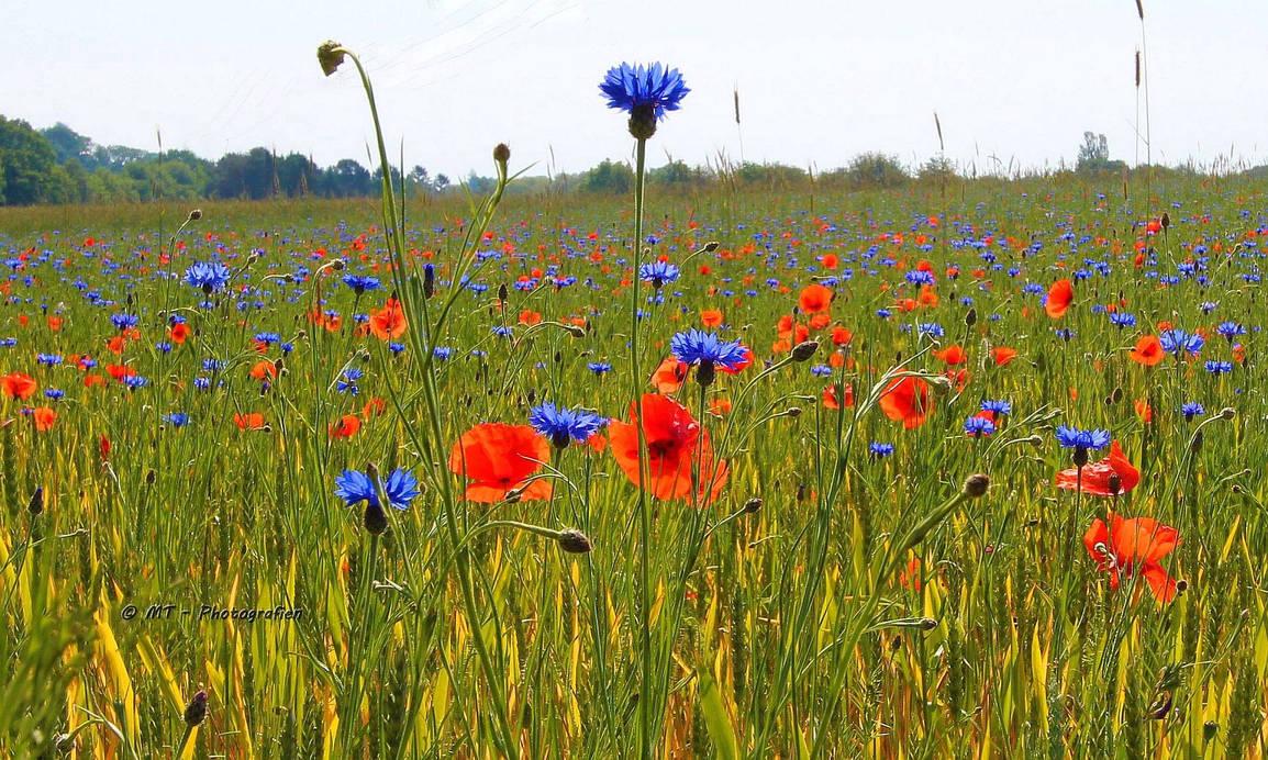 Grain and poppy field by MT-Photografien