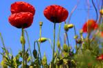 delicate poppy flowers