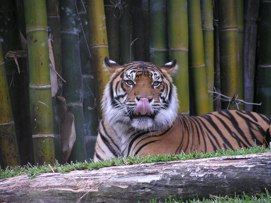 Tongue out tiger by VenDuckie