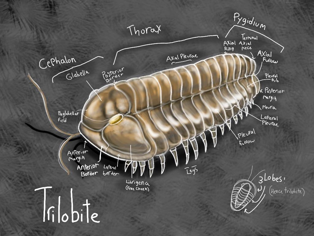 Trilobite anatomy study by Rustedbones