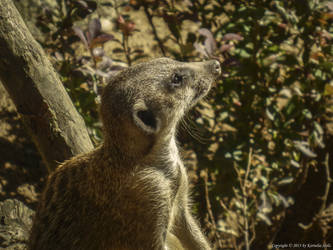 Suricate 3, Zoo in Gdansk by Nela23235