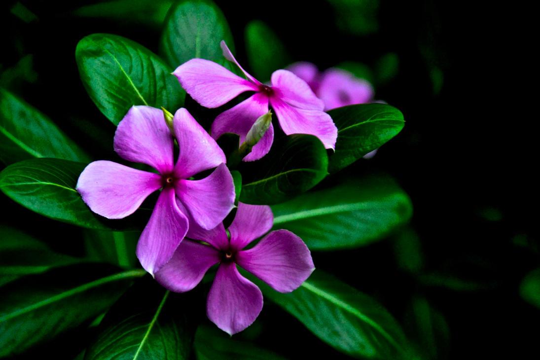 Purple oleander flowers by silentscuba on deviantart