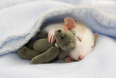 Mouse sleeping with teddy bear