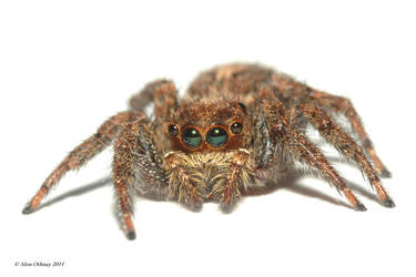 JSP - Jumping spider picture