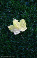 Maple Leaf by tamauz