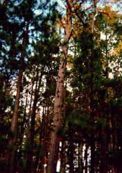 Forest Trees by xSilverRavenWingsx