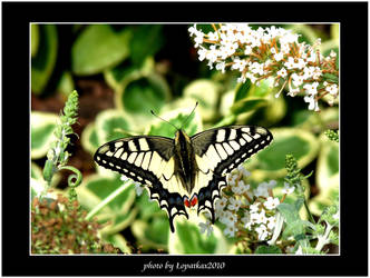 Papilio machaon. by lopatkax
