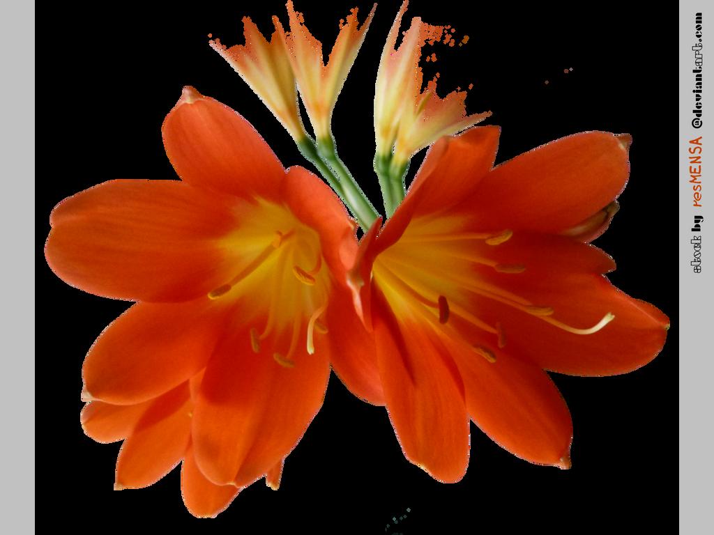 orange...clivia 3 STOCK by resMENSA