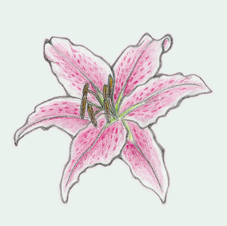 Stargazer Lily, Pencil test by sicmentale