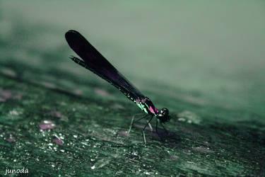 lil dragonfly by JuNoDa