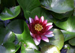 Red Lotus by celtictreeoflife