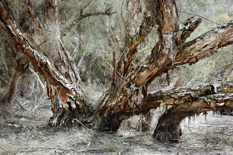 PAPERBARK TREE 2 by AdamsWife