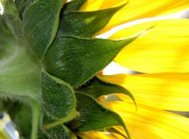 Sunflower by AdamsWife