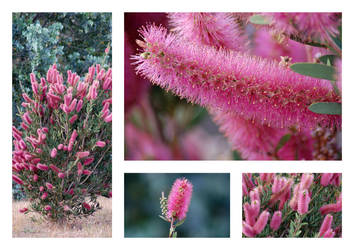 Pink Bottlebrush by AdamsWife