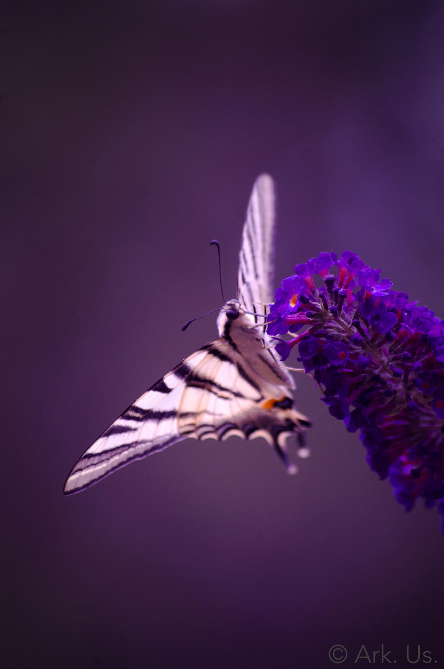 Butterfly by Arkus83