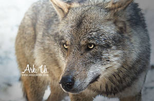 Wolf by Arkus83