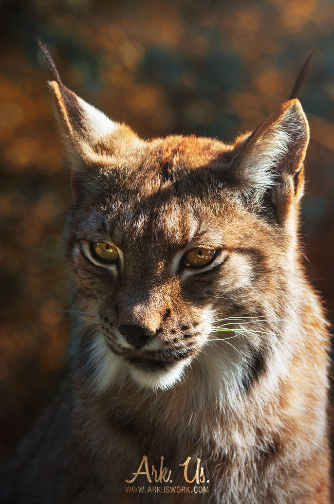 Lynx by Arkus83