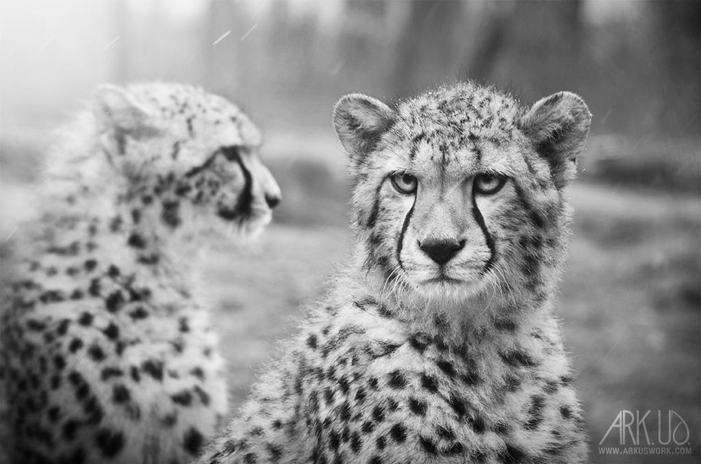 Duo Cheetah by Arkus83