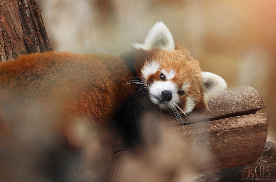Panda roux by Arkus83