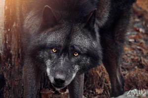 Black Wolf by Arkus83