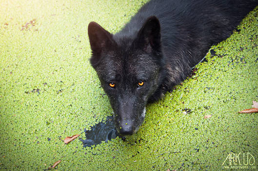 Black wolf in the green water