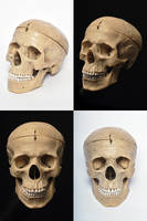 Human Skull Model Stock by stuff-stock